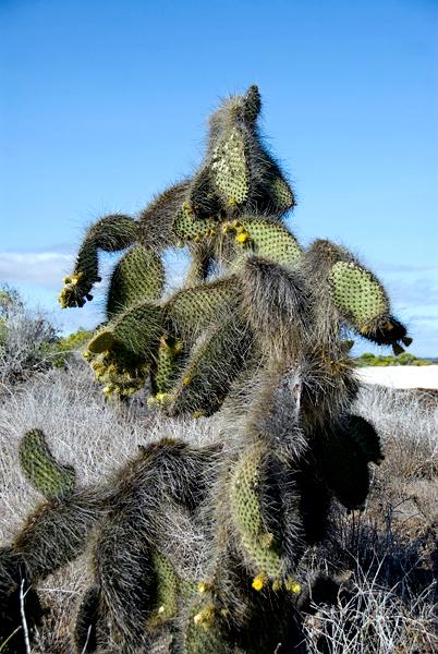 Galapagos Trip - Galapagos, Bachas Beach, Santa Cruz Island<br /> Prickily Pear Cactus