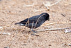 Galapagos Trip - Galapagos, Cerro Dragon, Santa Cruz Island<br /> Large Ground Finch