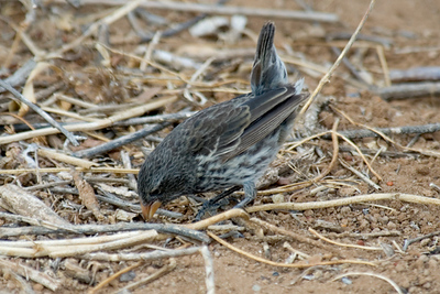 Galapagos Trip - Galapagos, Cerro Dragon, Santa Cruz Island<br /> Small Ground Finch