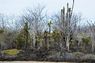 Galapagos Trip - Galapagos, Cerro Dragon, Santa Cruz Island<br /> Candlelabra and Prickly Pear Cactus along with some incense trees