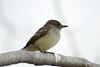 Galapagos Trip - Galapagos, Cerro Dragon, Santa Cruz Island<br /> Blackpoll Warbler
