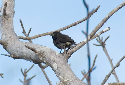 Galapagos Trip - Galapagos, Cerro Dragon, Santa Cruz Island<br /> Medium Tree Finch