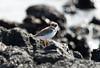 Galapagos Trip - Galapagos, Cerro Dragon, Santa Cruz Island<br /> Semipalmated Plover