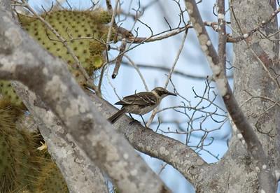 Galapagos Trip - Galapagos, Cerro Dragon, Santa Cruz Island<br /> Chatham (San Cristobal) Mockingbird