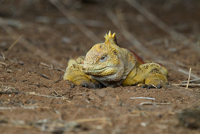 Galapagos Trip - Galapagos, Cerro Dragon, Santa Cruz Island<br /> Land Iguana