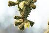 Galapagos Trip - Galapagos, Cerro Dragon, Santa Cruz Island<br /> Prickly Pear Cactus
