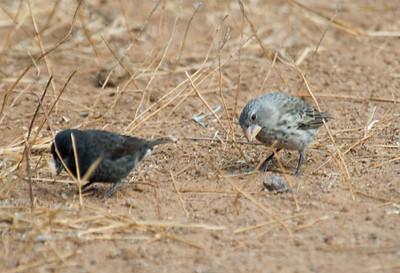Galapagos Trip - Galapagos, Cerro Dragon, Santa Cruz Island<br /> Two medium ground finches