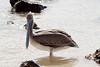 Galapagos Trip - Galapagos, Cerro Dragon, Santa Cruz Island<br /> Brown Pelican