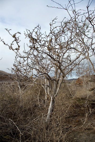 Galapagos Trip - Galapagos, Floreana Island, Cormorant Point<br /> Incense Tree