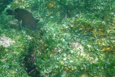 Galapagos Trip - Galapagos, Floreana Island, Cormorant Point<br /> Galapagos Ringtail Damselfish