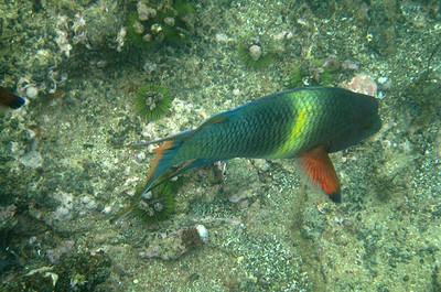 Galapagos Trip - Galapagos, Floreana Island, Cormorant Point<br /> Wrasse