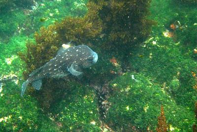 Galapagos Trip - Galapagos, Floreana Island, Cormorant Point<br /> Spotfin Burrfish