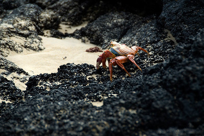 Galapagos Trip - Galapagos, Floreana Island, Cormorant Point<br /> Sally Lightfoot Crab