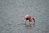 Galapagos Trip - Galapagos, Floreana Island, Cormorant Point<br /> Greater Flamingo