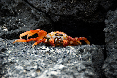 Galapagos Trip - Galapagos, Floreana Island, Cormorant Point<br /> Sally Lightfoot Crab