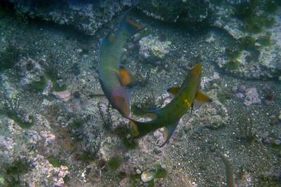 Galapagos Trip - Galapagos, Floreana Island, Cormorant Point<br /> Black Wrasses