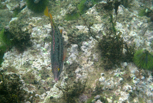 Galapagos Trip - Galapagos, Floreana Island, Cormorant Point<br /> Black Wrasse