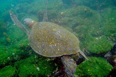 Galapagos Trip - Galapagos, Floreana Island, Cormorant Point<br /> Hawksbill Turtle