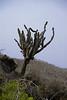 Galapagos Trip - Galapagos, Floreana Island, Cormorant Point<br /> Candelabra Cactus