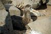 Galapagos Trip - Galapagos, Espanola Island<br /> Six week old Wave Albatross
