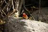 Galapagos Trip - Galapagos, Espanola Island<br /> Lava Lizard
