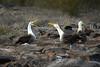 Galapagos Trip - Galapagos, Espanola Island<br /> Waved Albatross mating dance