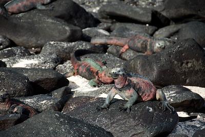 Galapagos Trip - Galapagos, Espanola Island<br /> Marine Iguanas