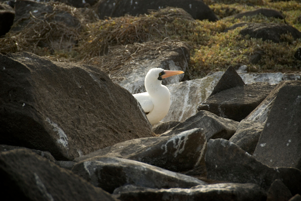 Galapagos Trip - Galapagos, Espanola Island<br /> Nazca Booby