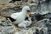 Galapagos Trip - Galapagos, Espanola Island<br /> Nazca Booby with Boobyling