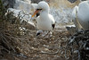 Galapagos Trip - Galapagos, Espanola Island<br /> Nazca Booby with chick