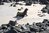 Galapagos Trip - Galapagos, Espanola Island<br /> Sea Lions