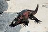 Galapagos Trip - Galapagos, Espanola Island<br /> Marine Iguana