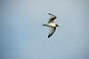 Galapagos Trip - Galapagos, Espanola Island<br /> Swallow-tailed Gull