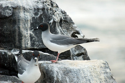 Galapagos Trip - Galapagos, Espanola Island<br /> Swallow tailed Gulls