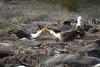 Galapagos Trip - Galapagos, Espanola Island<br /> Wave Albatross mating dance
