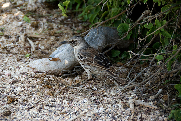 Galapagos Trip - Galapagos, Espanola Island<br /> Hood Mockingbird