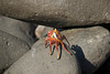 Galapagos Trip - Galapagos, Espanola Island<br /> Sally Lightfoot Crab