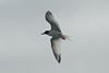 Galapagos Trip - Galapagos, Espanola Island<br /> Swallow Tailed Gull