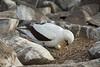 Galapagos Trip - Galapagos, Espanola Island<br /> Nazca Booby tending to egg