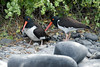 Galapagos Trip - Galapagos, Espanola Island<br /> American Oystercatchers with one over egg