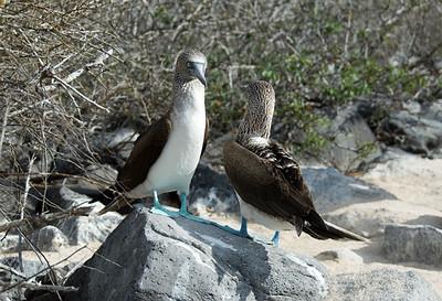 Galapagos Trip - Galapagos, Espanola Island<br /> Blue Footed Boobies