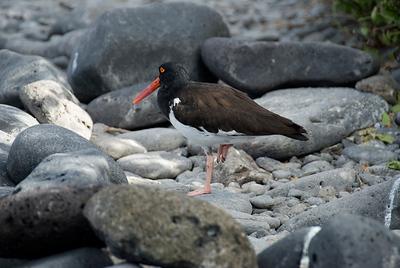 Galapagos Trip - Galapagos, Espanola Island<br /> American Oystercatcher