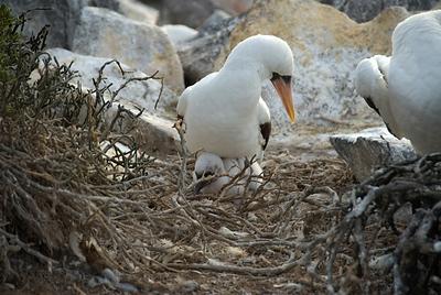 Galapagos Trip - Galapagos, Espanola Island<br /> Nazca Booby with chick