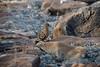 Galapagos Trip - Galapagos, Espanola Island<br /> Galapagos Dove
