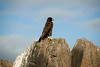 Galapagos Trip - Galapagos, Espanola Island<br /> Galapagos Hawk