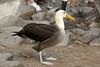 Galapagos Trip - Galapagos, Espanola Island<br /> Waved Albatross