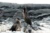 Galapagos Trip - Galapagos, Espinoza Point, Fernandina Island<br /> Galapagos Flightless Cormorants