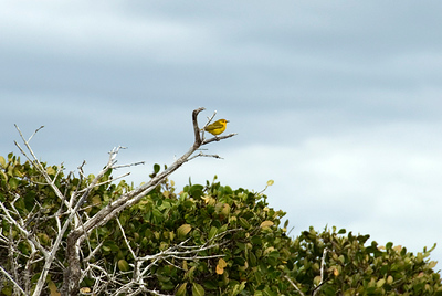 Galapagos Trip - Galapagos, Espinoza Point, Fernandina Island<br /> Yellow Warbler on the White Mangrove