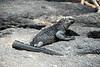 Galapagos Trip - Galapagos, Espinoza Point, Fernandina Island<br /> Marine Iguana
