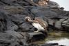 Galapagos Trip - Galapagos, Espinoza Point, Fernandina Island<br /> Galapagos Brown Pelican